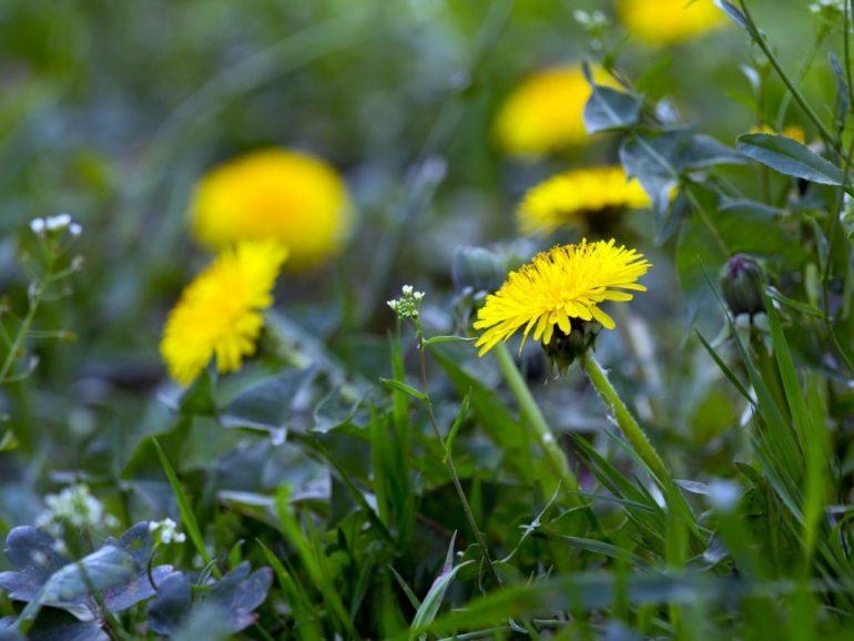 Лечение геморроя травами