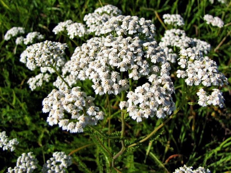 Лечебные травы при геморрое
